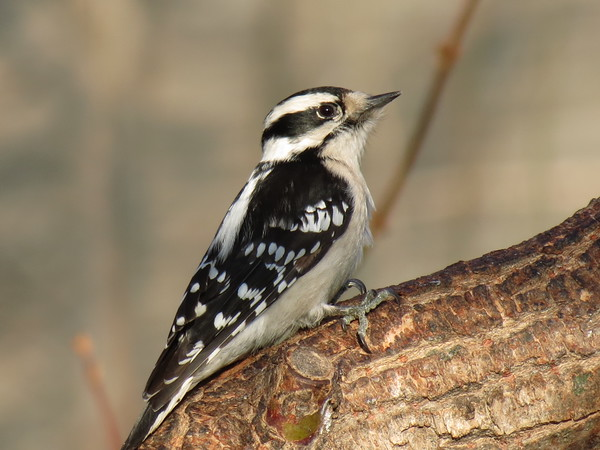Downy Woodpecker. I like this photo because the subject is lit by the bright morning sun. Usually, these birds like to stay in the shadows of the limbs.