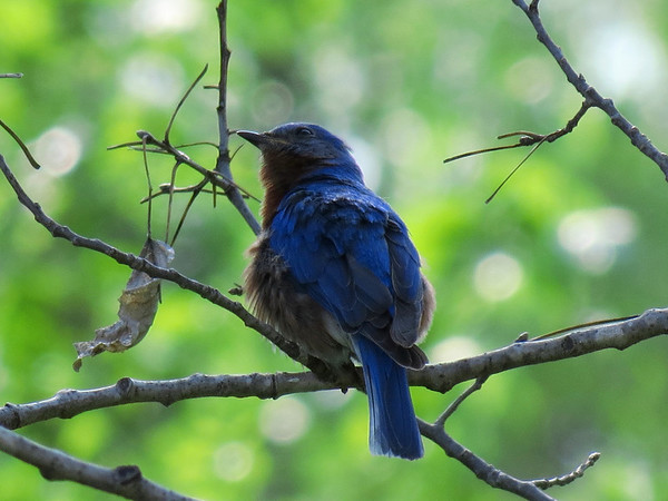 Bluebird in the Evening Shade.