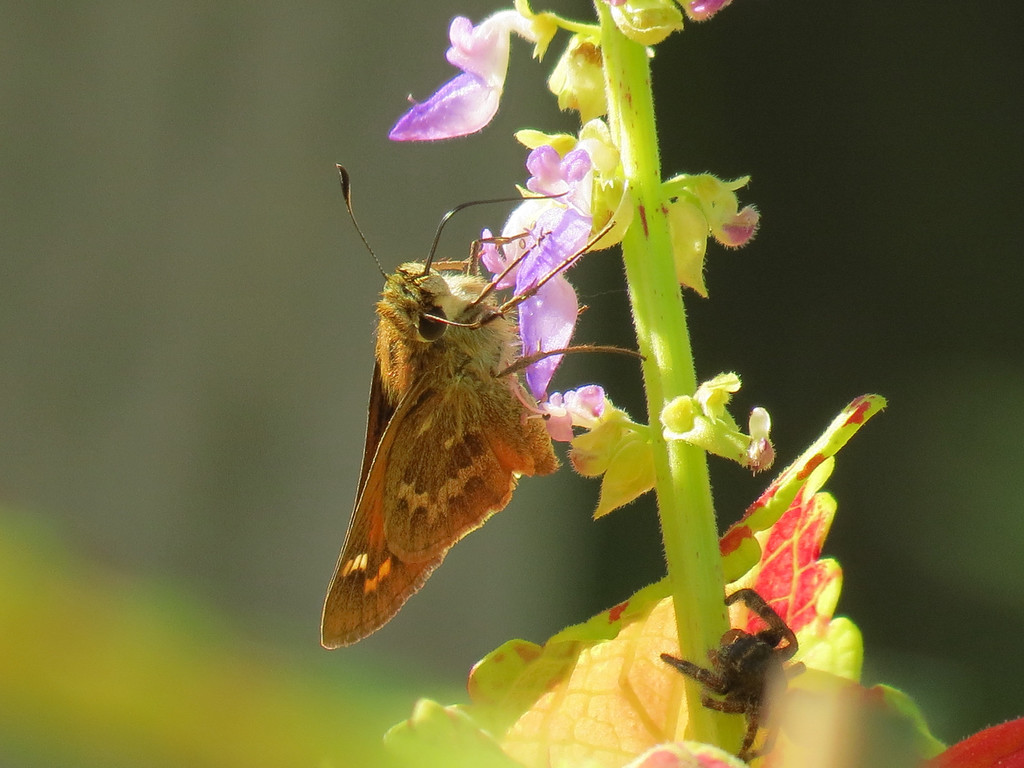 Skipper Butterfly staying one step ahead of a Spider.