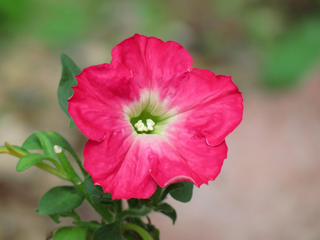 Very Pink Petunia in Bright October Sunshine.