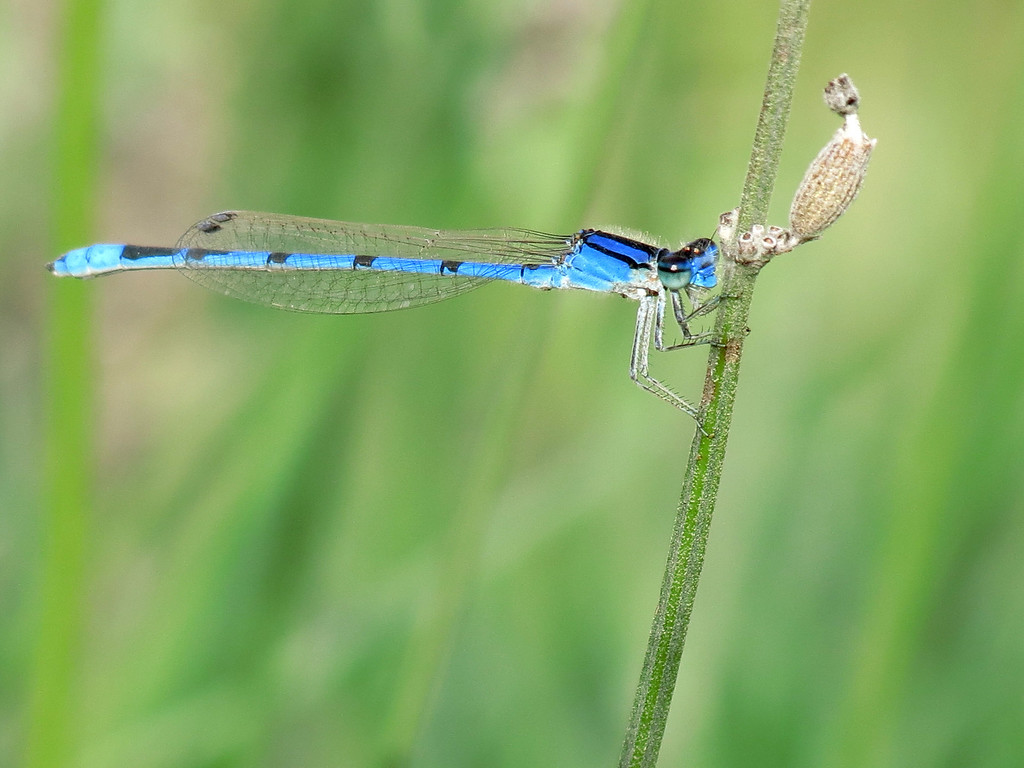 A very Blue Damsel Fly perching on Lavender on October 20th.