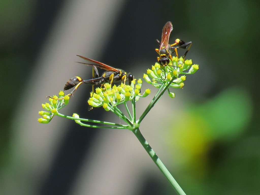 Two Wasps on the Fennel Flowers.