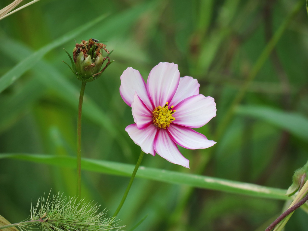 Cosmos Flower on October 20th.