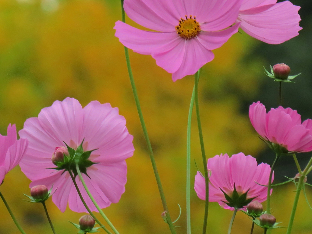 Pink Cosmos on a Dark, Cloudy and Gloomy October Afternoon.