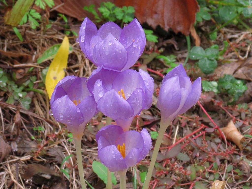Fall blooming Crocus on a rainy November 5.