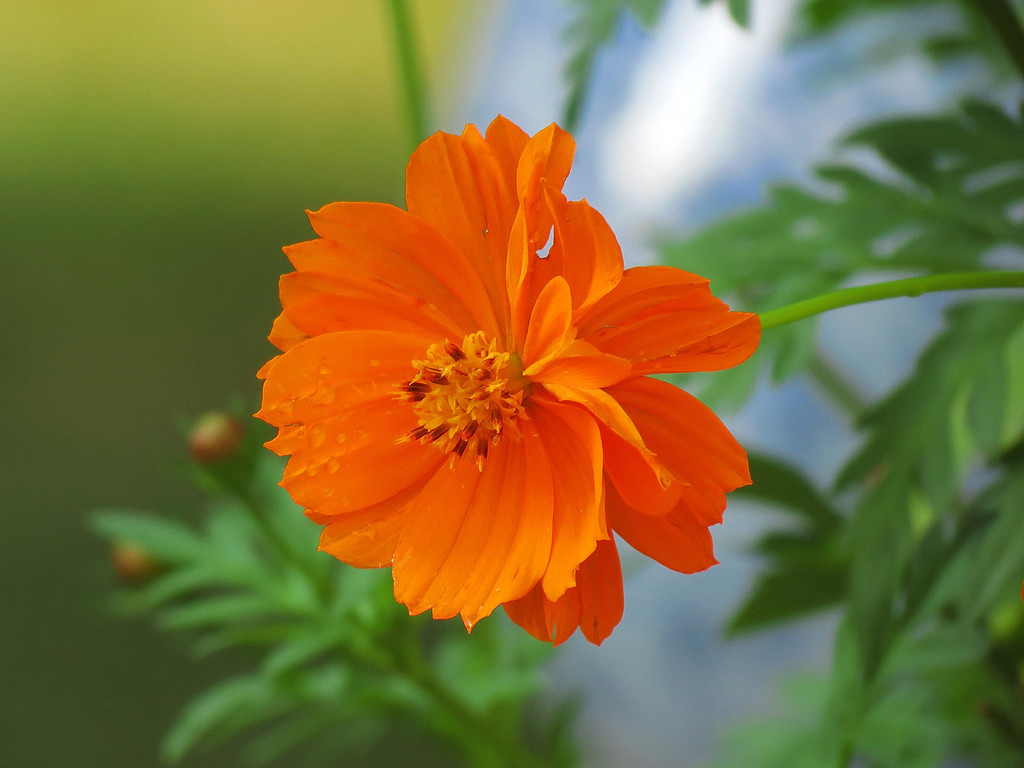 Orange flower after the rain stopped.