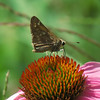 Skipper Butterfly and Coneflower