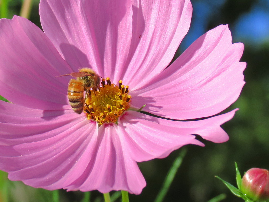 Honeybee on the Extremely Tall Pink Cosmos.