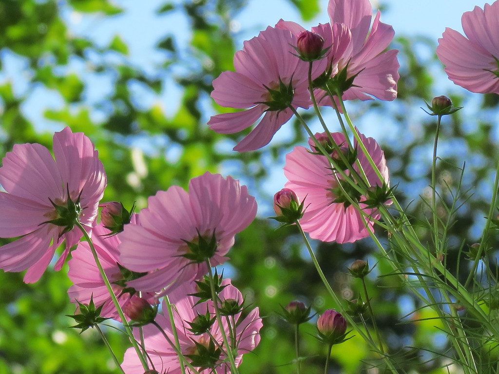 Pink Cosmos on October 12.