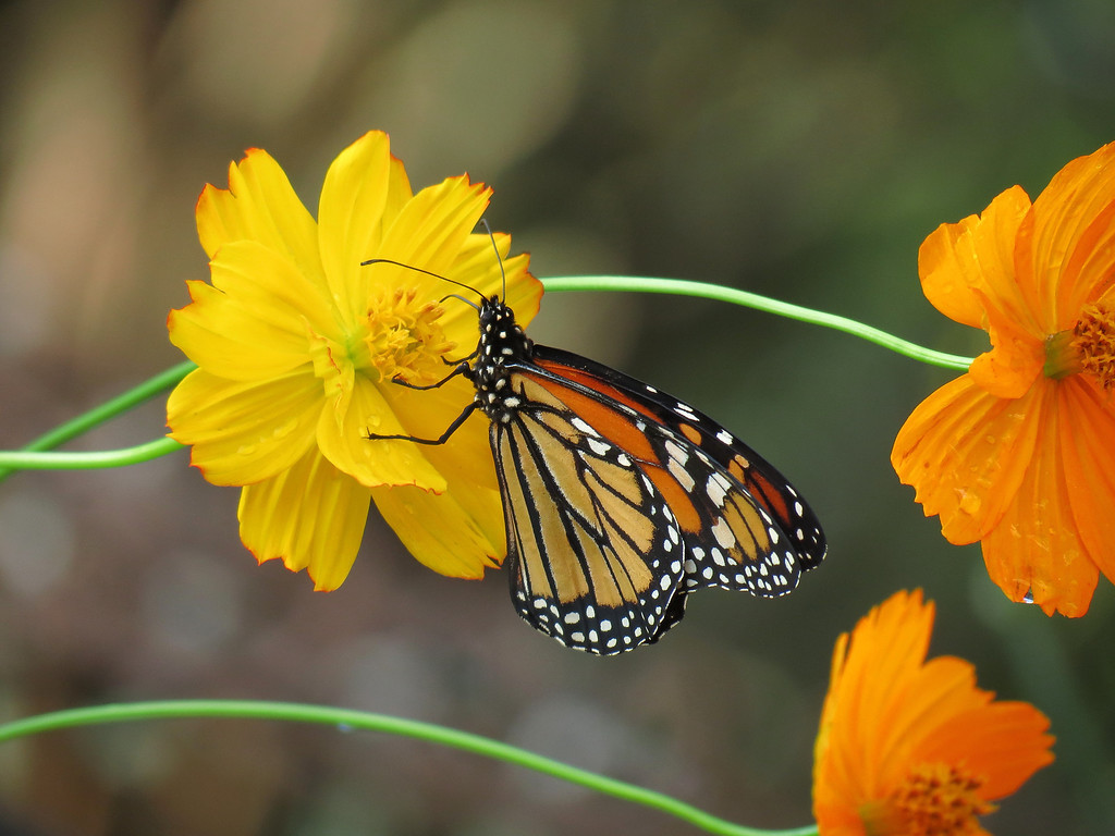Monarch and Yellow Flower