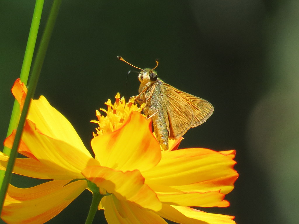 Skipper Butterfly on the Yellow Cosmos.