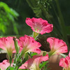 The Pink Petunias after being cut back a few weeks ago.