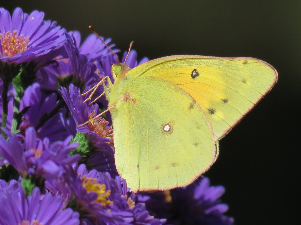 Yellow Butterfly and Purple Asters
