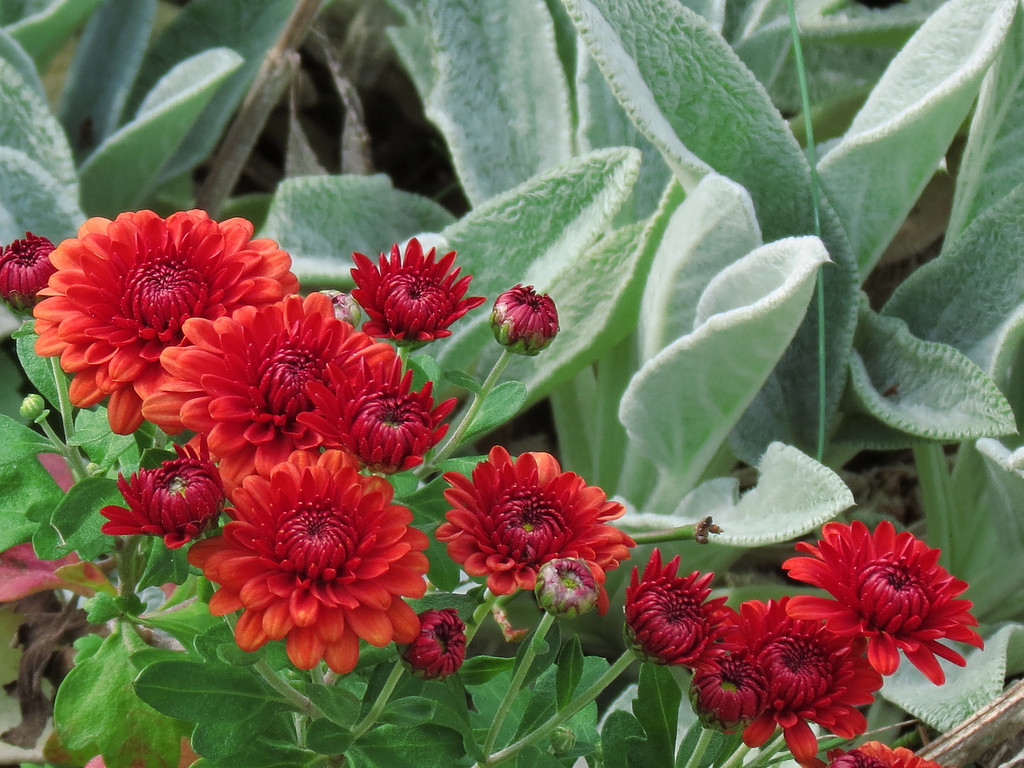 Chrysanthemums and Stachys