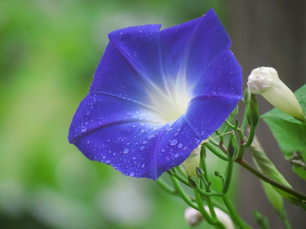 Heavenly Blue Morning Glory in the Rain