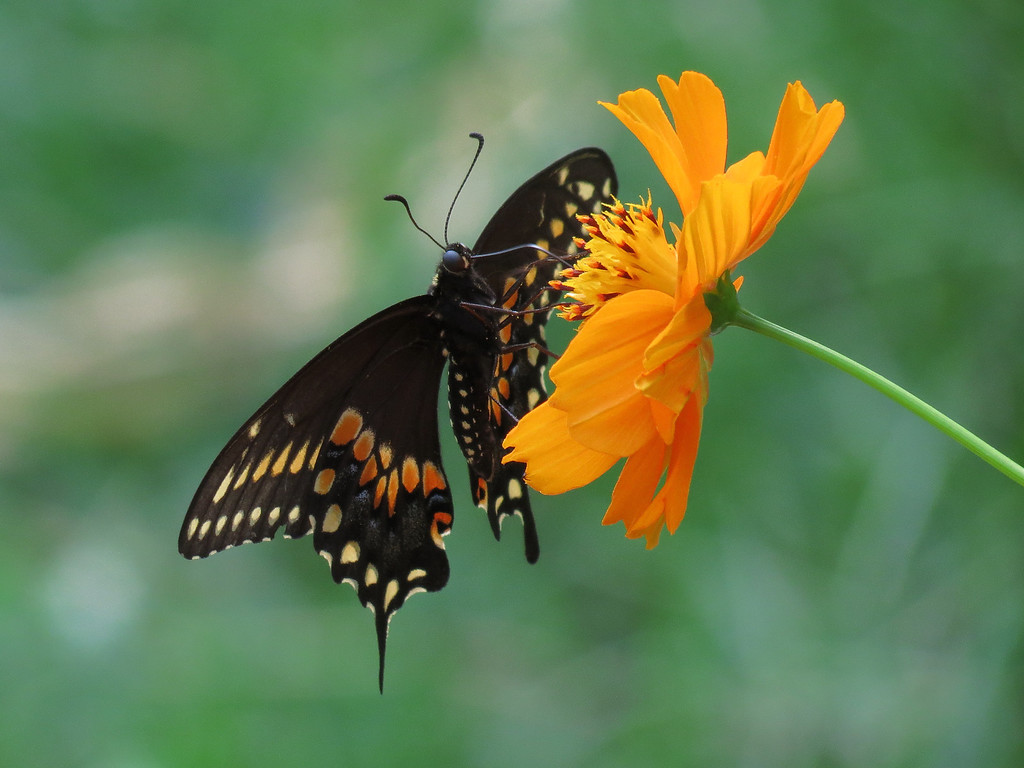 Black or Parsnip Swallowtail Butterfly