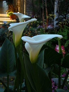 Callas - In our garden...when it rains... the callas fill with a nectar like liquid. We cut hollow reeds and plunging them into the callas... drink deeply.