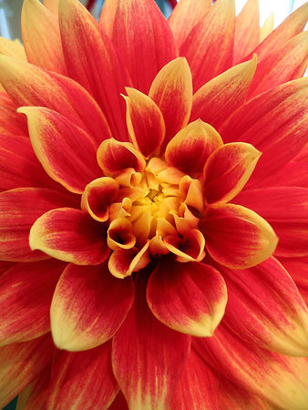 Dahlia - from the dahlia show we went to at Loose Park. I like the intensity of color in this flower.