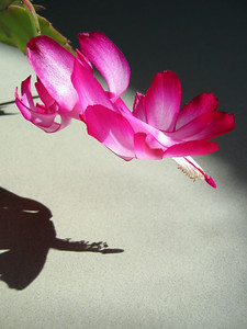 The Christmas cactus we winter over each year. I liked the shadow from the late afternoon sun.
