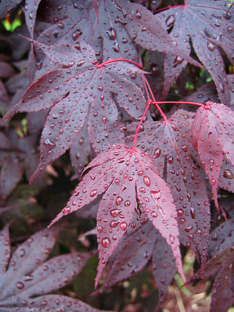 Bloodgood Japanese Maple - the leaves seem rather leathery to me. It is a nice tree but, unfortunately suffers from some die back each winter and therefore hasn't grown much. The rain drops bead up nicely on it's leaves.