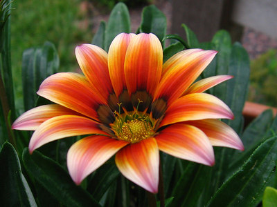 One of the exceptionally nice gazanias this year.