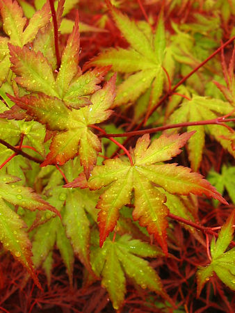 Japanese maples in the rain.