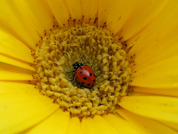 When I stooped to get a closer look at the new gerbera daisy, I noticed this ladybug.  Despite the wind blowing, I was able to get this shot which seemed to be in pretty good focus.