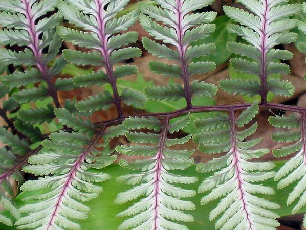 Japanese Painted Fern -<br /> This is a great fern for a wooded area.<br /> They are somewhat small but still stand out because of their color.