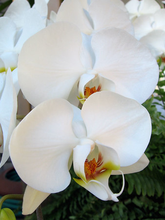 Nice white orchids.