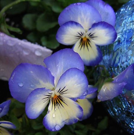 Steve and Becky > These blue violas are our favorites. A crackled glass globe reflects their color very nicely.