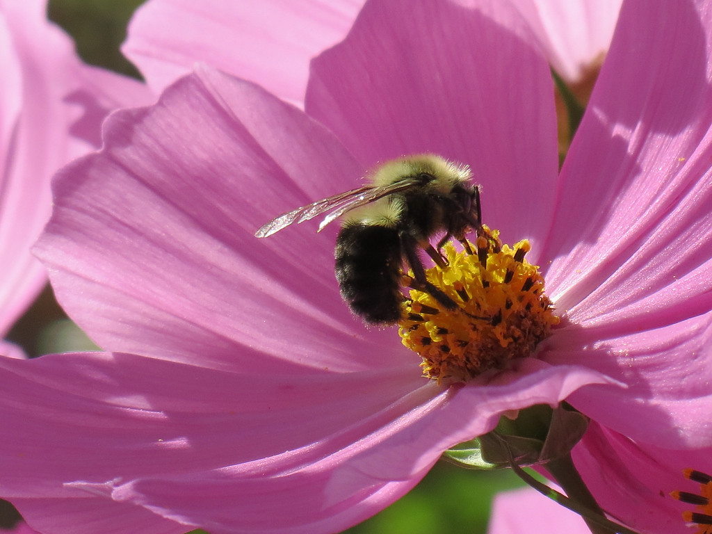 Bee on Pink Flower