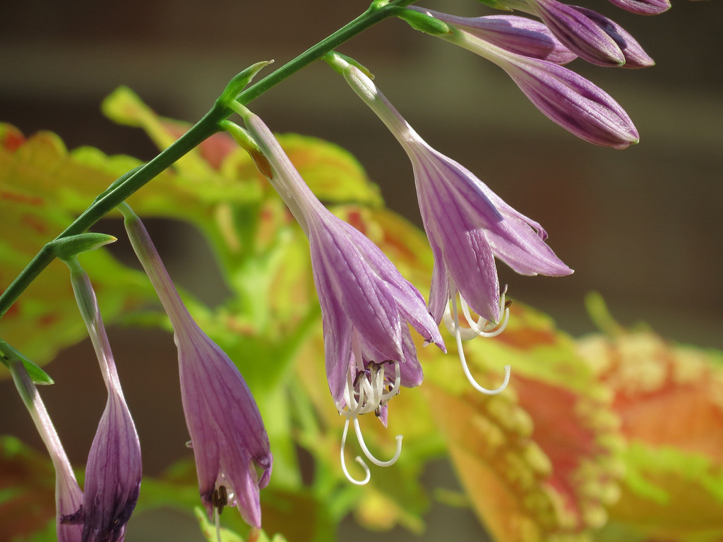 Hosta with Coleus in the background.
