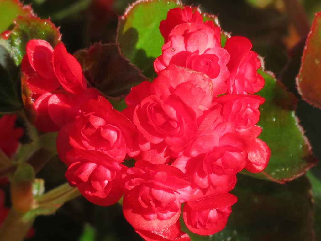 The little Rosebud Begonia on October 20th.