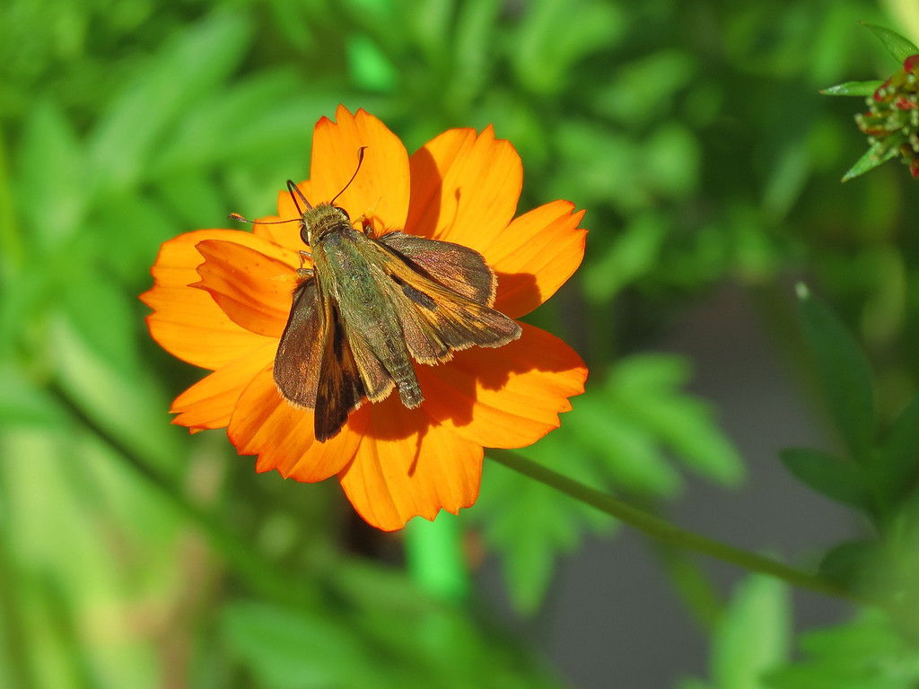 Skipper Butterfly and Orange Cosmos.