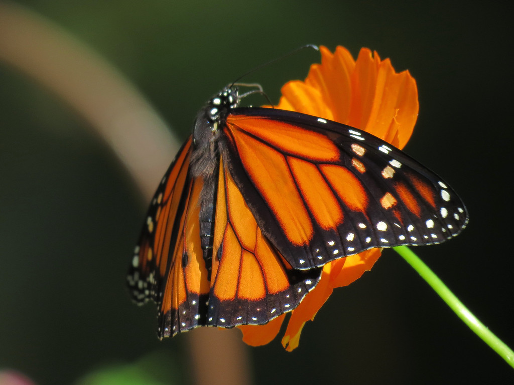 Monarch Butterfly and Orange Cosmos