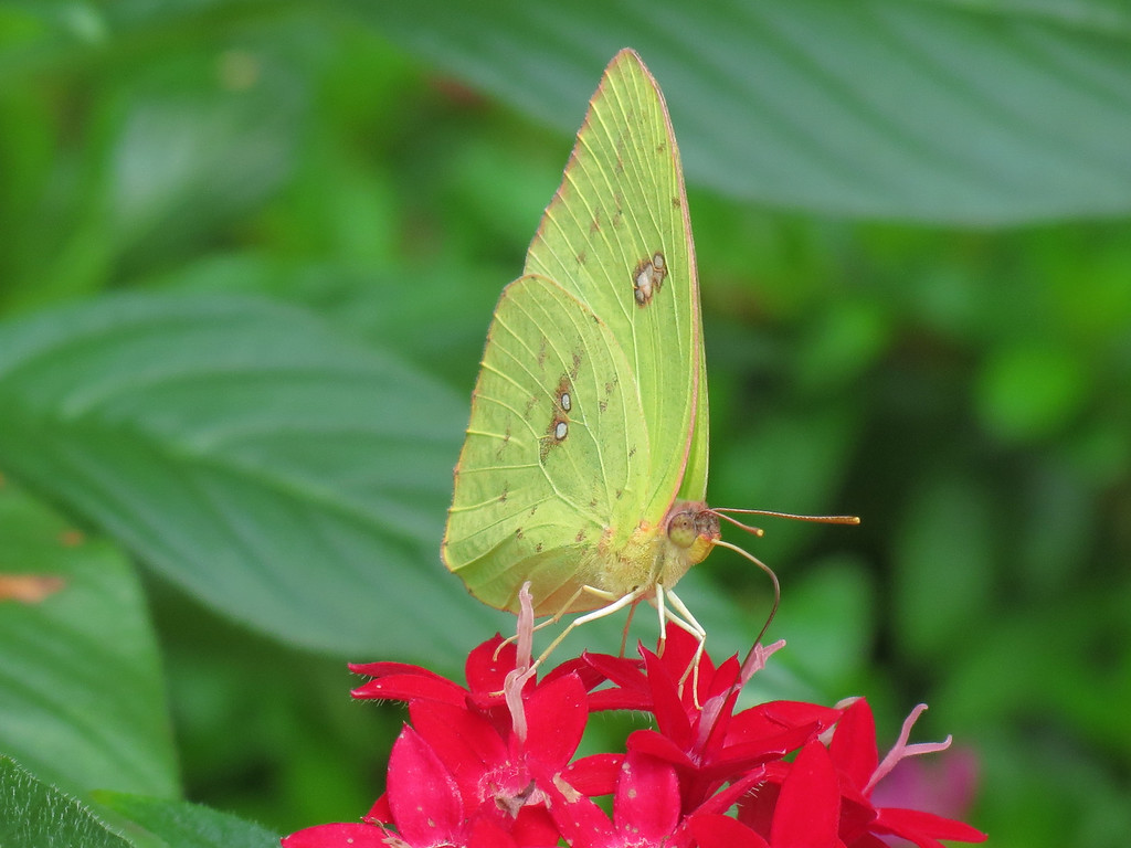 Yellow Butterfly and Red Pentas.