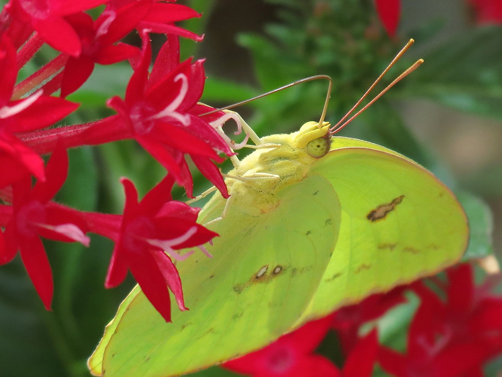 Yellow Butterfly and Red Pentas