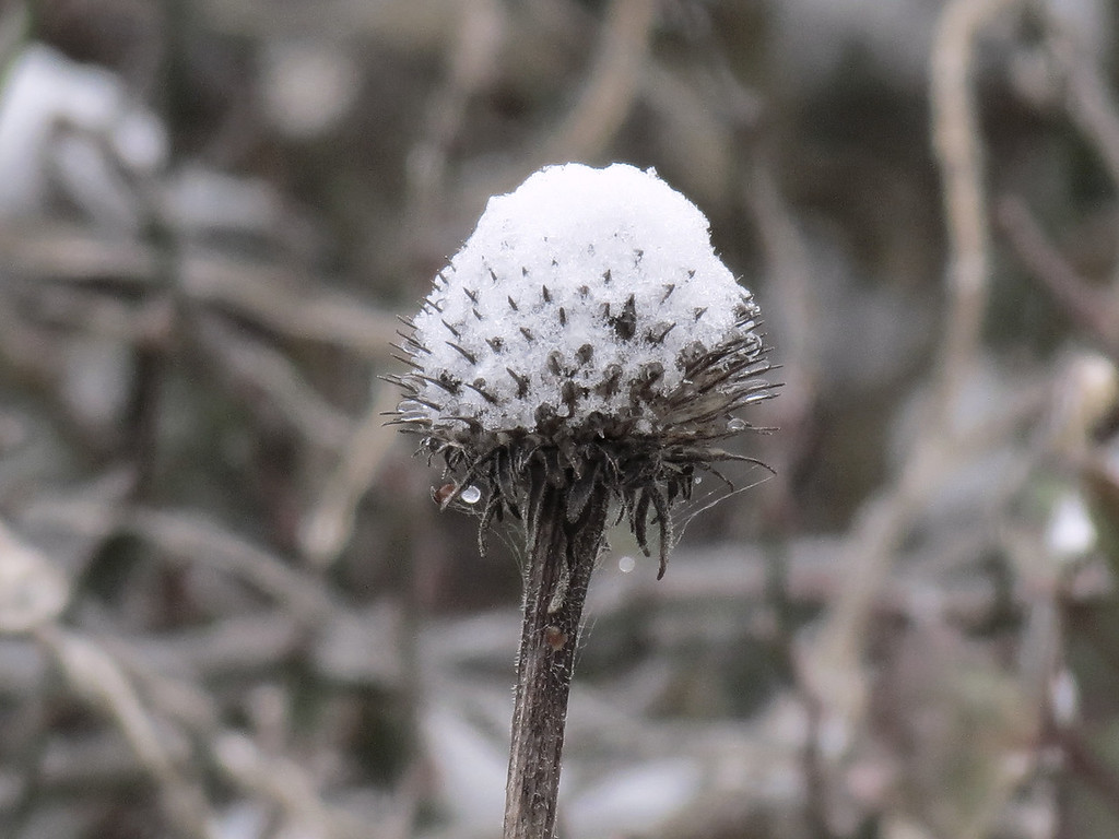 A seed head of the purple cone flower covered in snow.