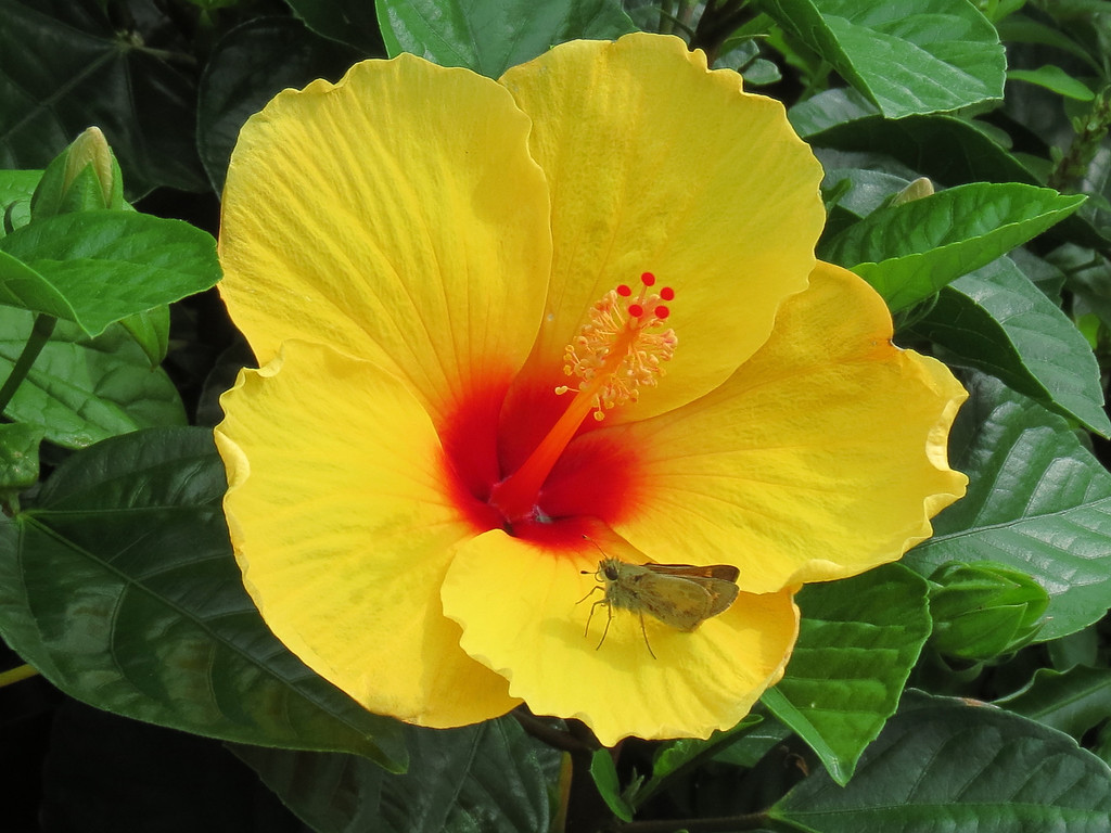 Yellow Hibiscus and Butterfly