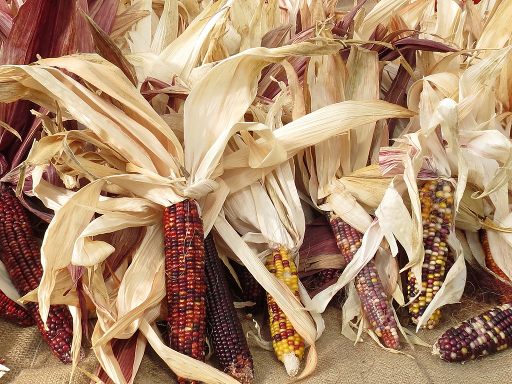 Colorful ears of corn.