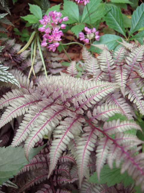 Japanese painted fern.
