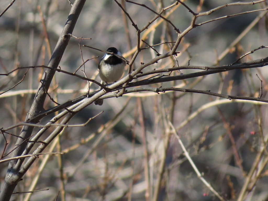 A Chickadee on December 17.