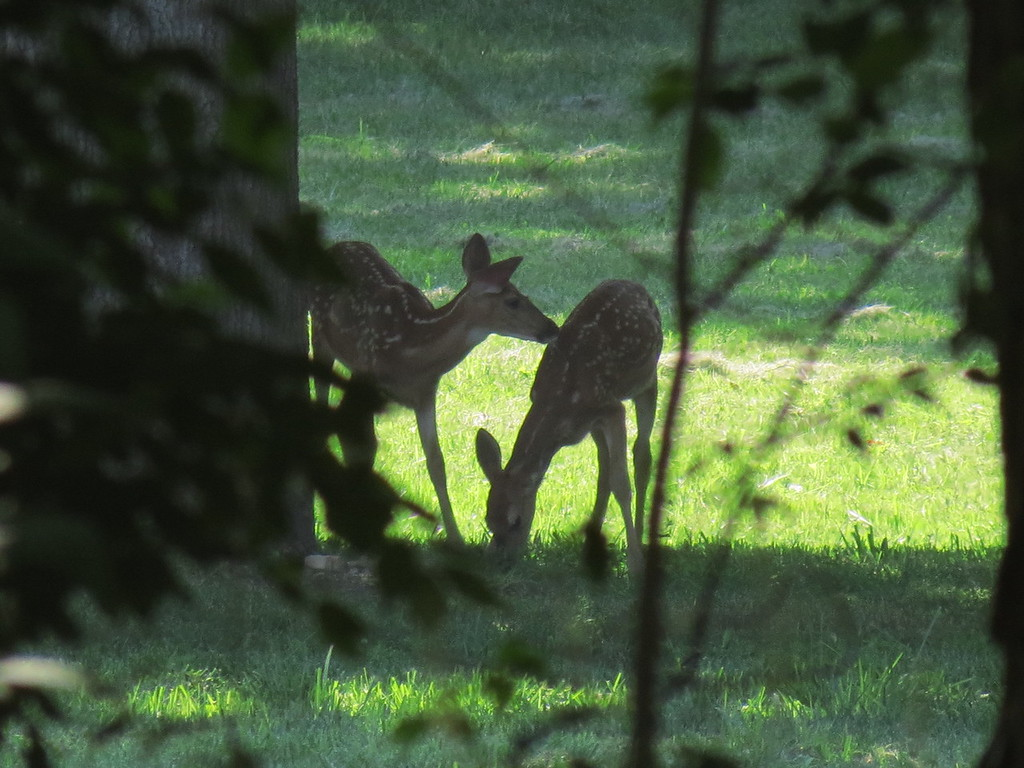 Two of the three fawns we were watching this afternoon.