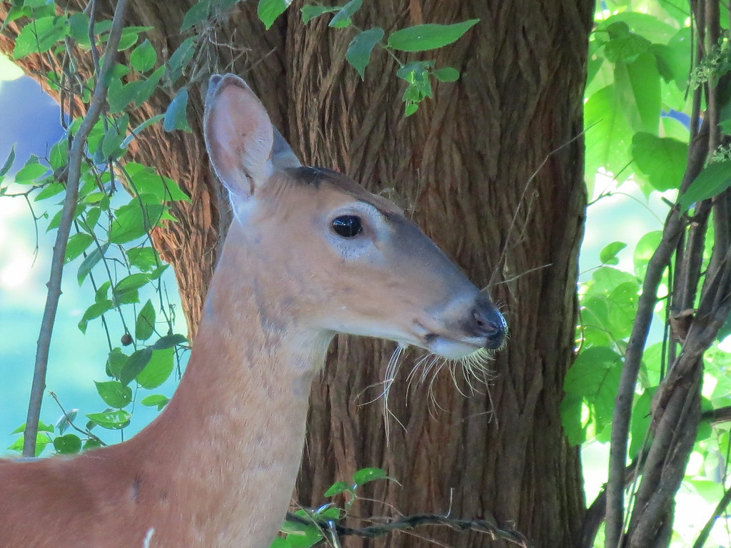A doe in the backyard this afternoon.