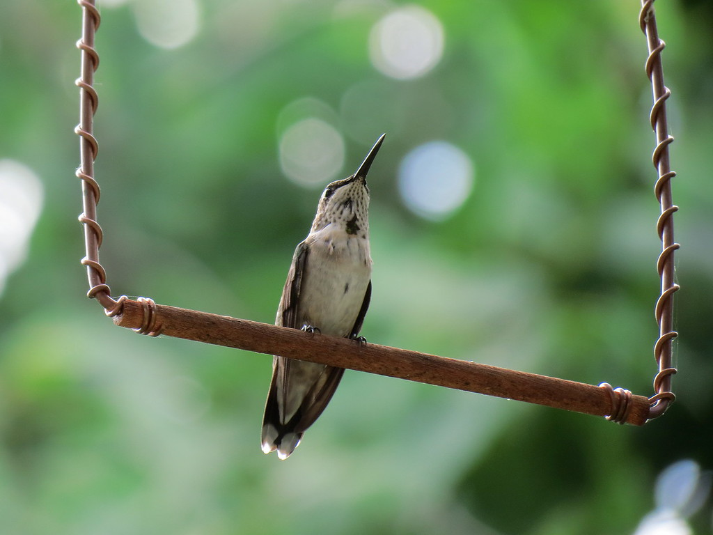Hummingbird perching on the swing that Becky bought for them.