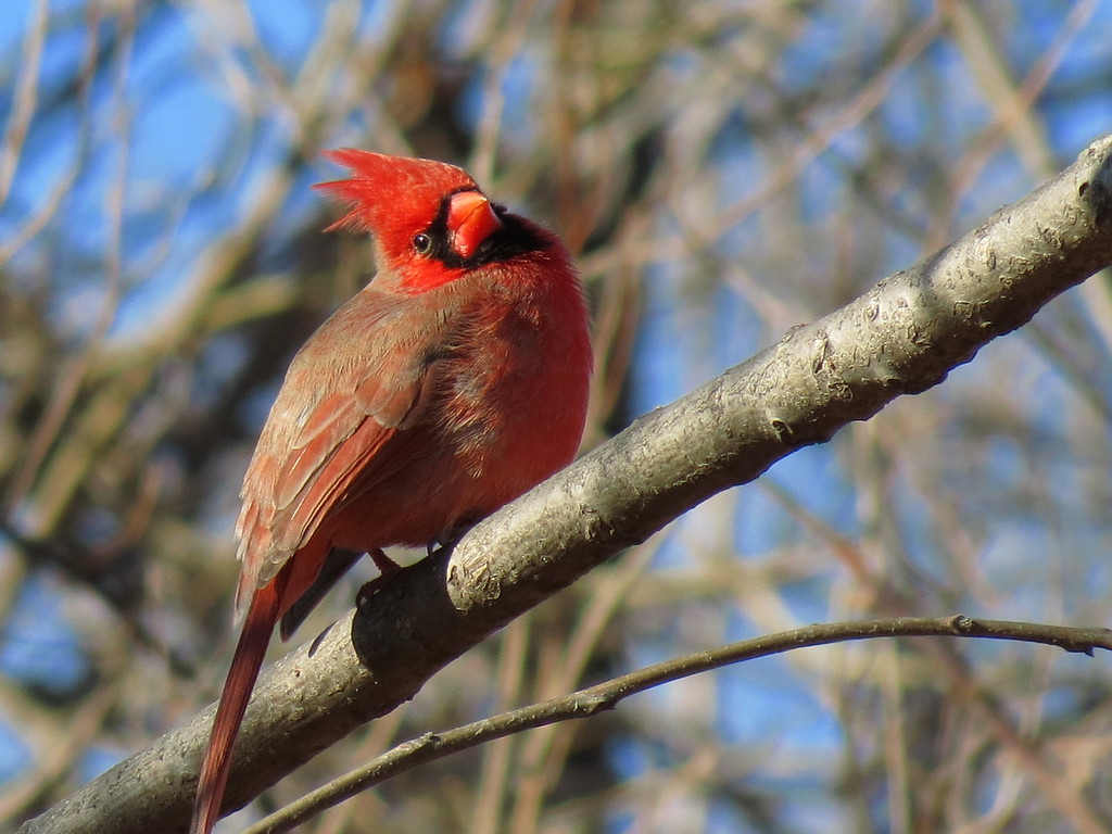 Cardinal on December 11, 2013.